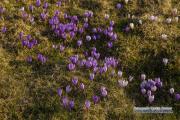 raemisgummen_krokus_sunset_07.04.2020_0124-stm