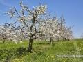 kirschbluete_18.04.2011400