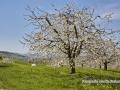kirschbluete_18.04.2011540