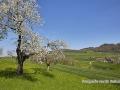 kirschbluete_18.04.2012300