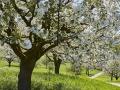kirschbluete_18.04.2012580
