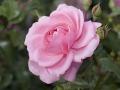 rosenhuber_23.6.06-0153