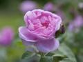 rosenhuber_9.6.2008-0086