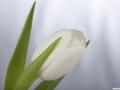 tulpen12.3.20080006.jpg