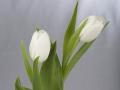 tulpen12.3.20080008.jpg