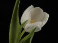 tulpen12.3.20080064.jpg
