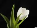 tulpen12.3.20080069.jpg