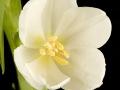 tulpen12.3.20080110.jpg