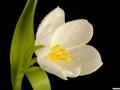 tulpen12.3.20080117.jpg