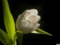 tulpen12.3.20080149.jpg