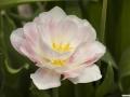 tulpen_2.5.090001.jpg