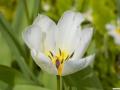 tulpen_20.4.20080103.jpg