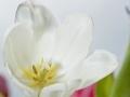 tulpen_5.4.20080020.jpg