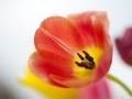 tulpen_5.4.20080031.jpg